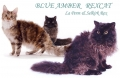 blue amber rex cat