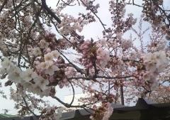 開花4-25_600 (1)
