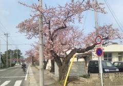 開花4-25_600