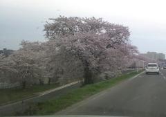 桜4-28 (2)_600