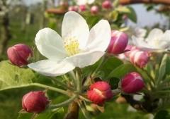 りんご花5-7 (4)_600