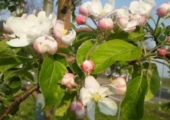 りんご花5-7 (3)_600