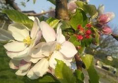 りんご花5-7 (2)_600