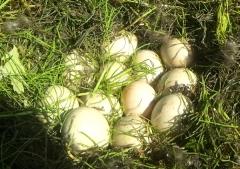 カモ卵 (2)_600