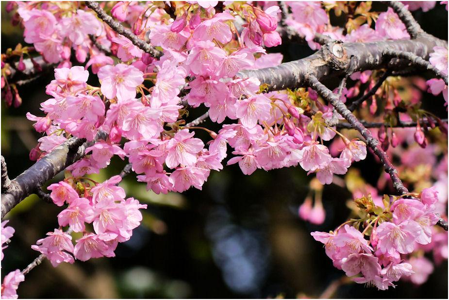 2014年春河津桜