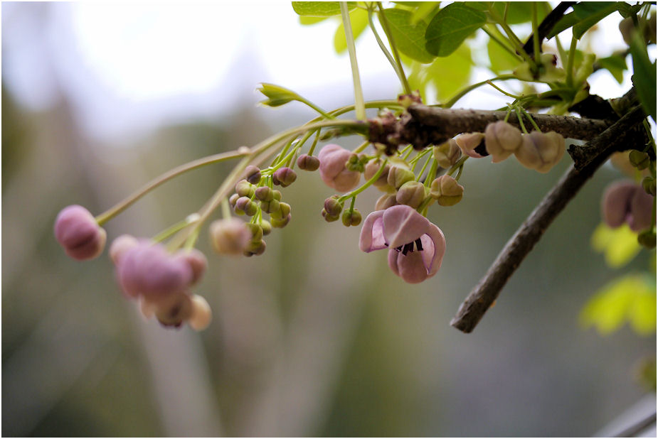 ゴヨウアケビの花