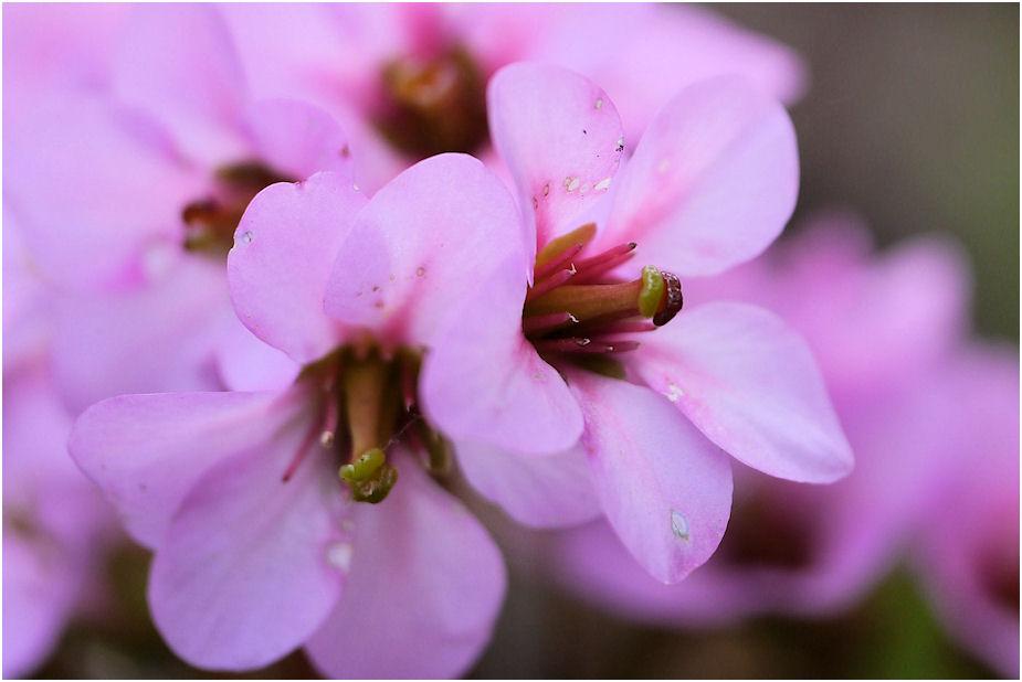 ヒマラヤユキノシタの花