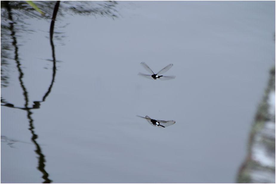 コシアキトンボの飛翔