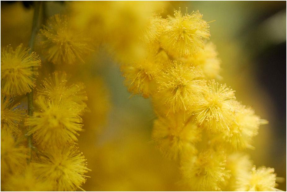 ミモザアカシアの花