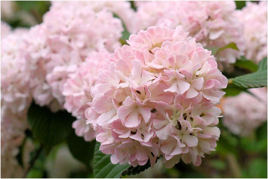 ピンクのオオテマリ