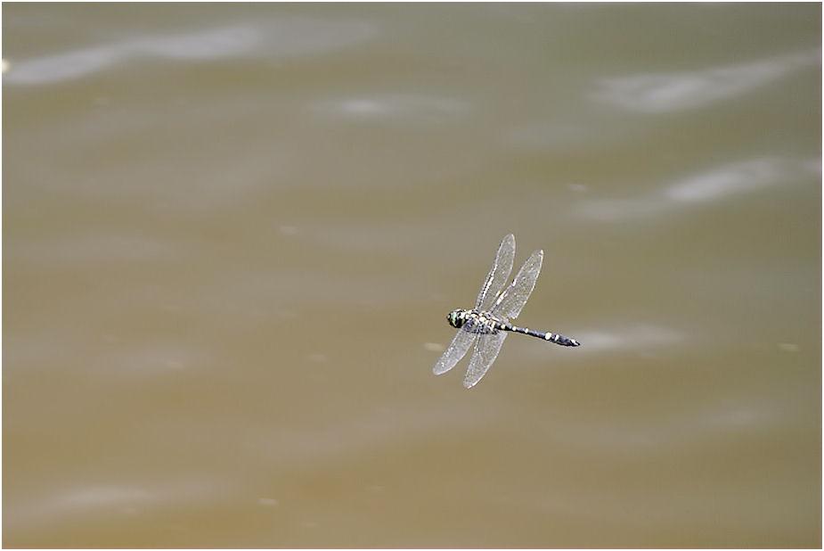 オオヤマトンボの飛行