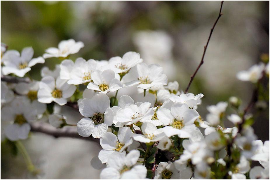 ゆきやなぎの花