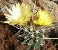 696px-Ferocactus_hamatacanthus_sinuatus_HabitusFlowers_Bln0906b[1]