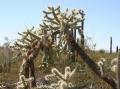 800px-Opuntia_fulgida_1_-_Desert_Botanical_Garden[1]