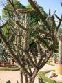 450px-Cylindropuntia_kleiniae[1]