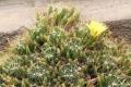 800px-Mammillaria_longimamma_pm[1]