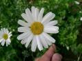 800px-Tanacetum_cinerariifolium1[1]