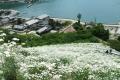 800px-Tanacetum_cinerariifolium_in_Shigei[1]