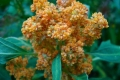800px-Chenopodium_quinoa_in_flower[1]