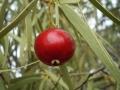 800px-Santalum_acuminatum_fruit1[1]