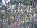 800px-Ebonytreeforest[1]