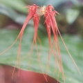 Bulbophyllum-pectenveneris[1]