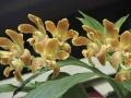 17-orchid-chysis-aurea-enero-07[1]