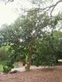 450px-Hernandia_nymphaeifolia_-_Koko_Crater_Botanical_Garden_-_IMG_2163[1]