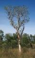 365px-Gyrocarpus_americanus_tree[1]