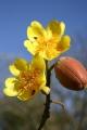 399px-Cochlospermum-vitifolium[1]