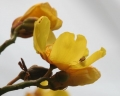 Yellow_Silk_Cotton_(Cochlospermum_religiosum)_flowers_in_Kolkata_W_IMG_4244[1]