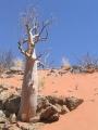 450px-Moringa-ovalifolia[1]