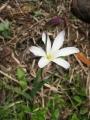 450px-Sparaxis_bulbifera_(Flower)_2[1]