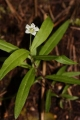 400px-Moehringia_macrophylla_2392[1]