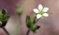 800px-Arenaria_serpyllifolia_3[1]