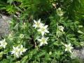 800px-Arenaria_merckioides_var._chokaiensis_1[1]