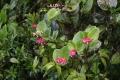 800px-Cavendishia_complectens_Hemsl._(codiferous)_001[1]