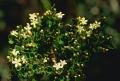 Leptolaena pauciflora