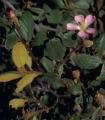 Leptolaena diospyroidea