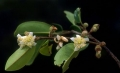 Schizolaena tampoketsana2