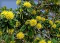 Xanthostemon_chrysanthus1[1]