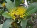 800px-Xanthostemon_paradoxus_flowers_1[1]