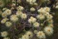800px-Phylica_pubescens_MS_9205[1]