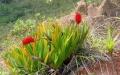 flower_xeronema_moorei_sentier_glissant000[1]