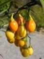 Solanum-laciniatum-Frucht[1]