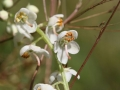pyrola_rotundifolia_ssp_rotundifolia_detail[1]