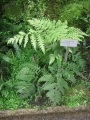 Tectaria_cicutaria_-_Berlin_Botanical_Garden_-_IMG_8791[1]