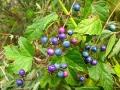 Ampelopsis_glandulosa_var._heterophylla_0810[1]