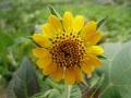 800px-Smallanthus_sonchifolius_.p[1]