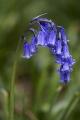 Hyacinthoides_non-scripta_(Common_Bluebell)[1]
